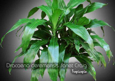 Dracaena Deremensis Janet Craig Compacta